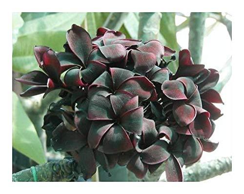 Plumeria Blackwindow - Frangipani - 3 seeds