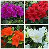 4 Plant Pack Mixed Dwarf Azaleas Small Evergreen Garden Shrub Colour Variety