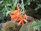 Brassia aurantiaca: Orchid