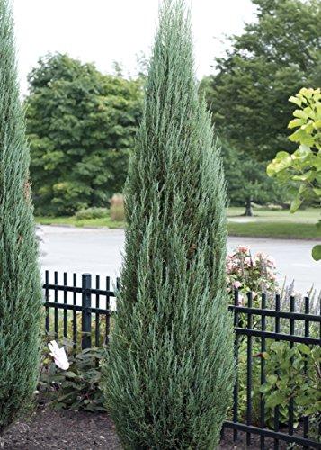 Sandys Nursery Online Juniperus scopulorum 'Blue Arrow' 4 inch Pot Lot of 20 by Sandys Nursery Online (Image #1)