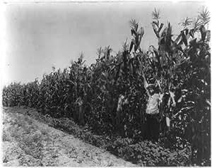 Photo: Corn crop,Lamb-Fish Lumber Company's plantation near Charleston,Mississippi,MI