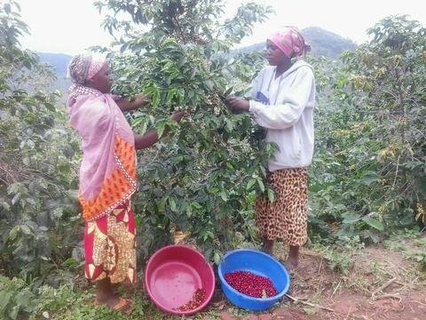 5 LBS Rwanda Nyamasheke Unroasted Green Coffee Beans