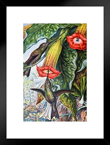 - Poster Foundry Hummingbird Pollinating Angels Trumpets Brugmansia Victorian Style Illustration Matted Framed Wall Art Print 20x26 inch