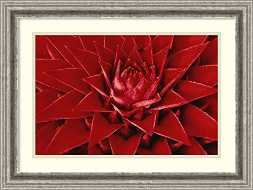 Framed Art Print 'Pingwing Bromeliad enormous flower belonging to the pineapple family, Barro Colorado Island, Panama' by Christian Ziegler by Amanti Art
