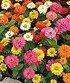 "50+ Annual Flower Garden Seeds - Dwarf Zinnia - ""Thumbelina"" Shorter Variety!!!"