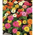50 Annual Flower Garden Seeds Dwarf Zinnia Thumbelina Shorter Variety