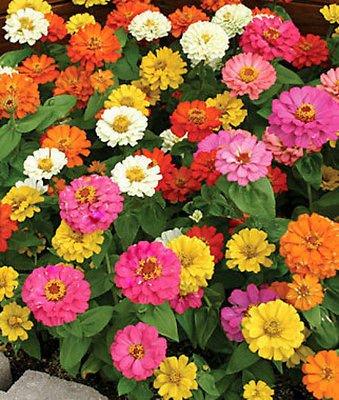 50+ Annual Flower Garden Seeds - Dwarf Zinnia -