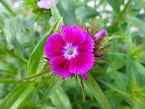 500 Seeds Pink Sweet William European Wildflower Seeds Perennial Groundcover Garden (Sweet Grow William)