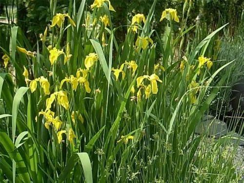 40 GRAINES JAUNE FLAG IRIS Iris pseudacorus