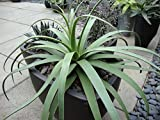 "50 x Fresh Seed: Agave bracteosa""Spider Agave, Squid Agave"" Great Ornamental!! x Fresh Seed"