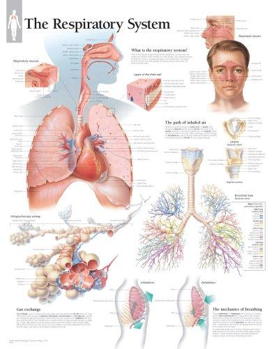 Respiratory System chart: Laminated Wall Chart