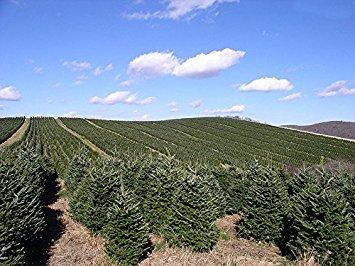 15 Seeds Fraser Fir, Fraser's Fir Abies fraseri NC, Roan Mt. Pine Tree, Christmas Tree