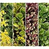 Pack X12 Sedum 'Mixed Varieties' Garden Plug Plants !
