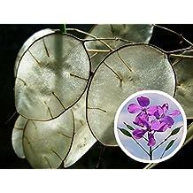 Silver Dollar Lunaria Biennis 100 seeds Money plant * Showy * CombSH J14