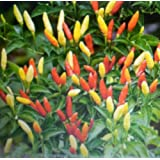 "Organic Hot Pepper vegetable Seeds-""Tabasco"" 50 plus seeds NON-GMO"