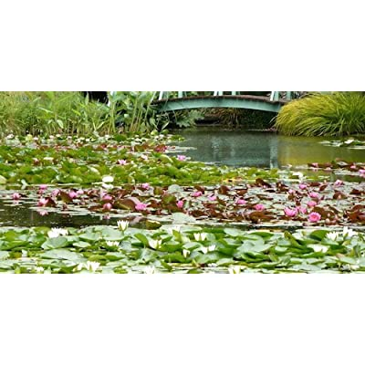 Live Aquatic Plant Nymphaea Peaches & Cream with Peach/Orange Color HARDY Water Lily TUBER for Aquarium Freshwater Fish Pond BUY 2 GET 1 FREE by JustNature : Garden & Outdoor