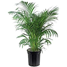 AMERICAN PLANT EXCHANGE Areca Palm Indoor/Outdoor Live, 3 Gallon, Clean Air of Toxins