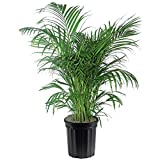 AMERICAN PLANT EXCHANGE Areca Palm Indoor/Outdoor Live Plant, 3 Gallon, Clean Air of Toxins