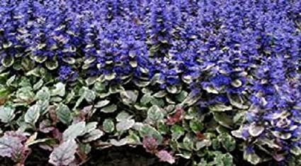 Amazon 30 ajuga reptans flower seeds deer resistant shade 30 ajuga reptans flower seeds deer resistant shade loving groundcover perennial mightylinksfo