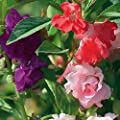 "Impatiens Seeds - ""Camelia Flowered Mixed"""