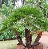 European Fan Palm Tree Seeds 15 Seeds Upc 646263362662
