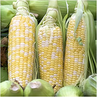 Package of 230 Seeds, Peaches & Cream Sweet Corn (Zea mays) Non-GMO Seeds By Seed Needs