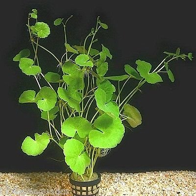 Image of Potted Brazilian Pennywort Aquarium Live Plant