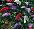 Mixed Colors Butterfly Bush Seeds 200 Seeds Upc 643451295764