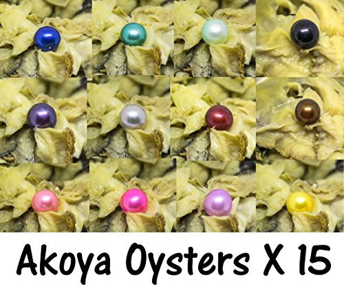 Akoya Oysters x 15 w/ Skittle Pearls Bulk - Akoya Oysters with Pearls Inside - Exotic Akoya Oysters Bulk Skittle Pearls - Wholesale Bulk Akoya Oysters for Pearl - Akoya Pearls Wholesale
