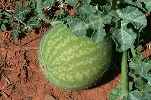 100 Citrullus colocynthis Seeds,Bitter Apple, Colocynth, Bitter cucumber Seeds, (Apple Cucumber Seeds)