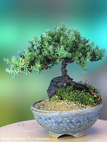 A 5+ Year Old Juniper Bonsai Tree in Japanese Setku Bowl (Seeds Bonsai Outdoor Tree)