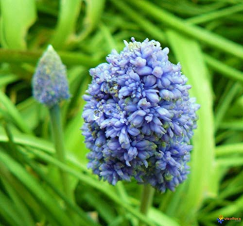 25 Bulbs : Bolly Bulbs - Muscari Blue Spike (25 Bulbs)