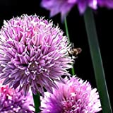 """Chives - Hardy Perennial - Easy to Grow! - 3"""" Pot"""