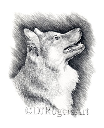 Icelandic Sheepdog Pencil Drawing Art Print by Artist DJ Rogers