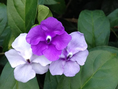 Emeralds TM Yesterday Today and Tomorrow Live Plant Brunsfesia Pauciflora Large Mature Landscape Ready 10 Inch Pot by Emerald Goddess Gardens (Image #1)