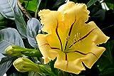 Cup of Gold Vine (Solandra maxima) Live Plant