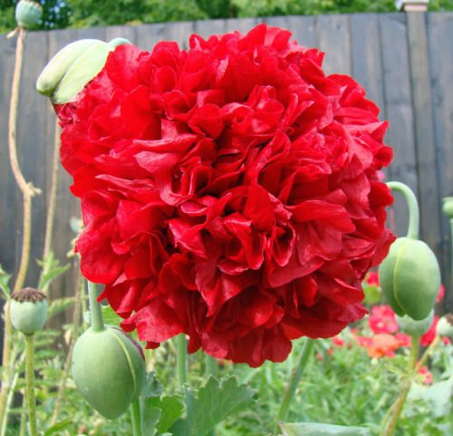 (100 Seeds of Red Peony Poppy Beautiful Large Red Flowers for Your Garden)