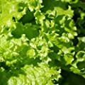 Leaf Lettuce Garden Seeds - Grand Rapids - Non-GMO, Heirloom Vegetable Gardening & Microgreens Seed