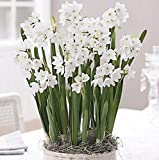 40 Ziva Paperwhites 14-15cm- Indoor Narcissus: Narcissus Tazetta: Nice, Healthy Bulbs for Holiday Forcing!!