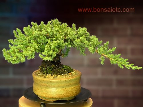 a-full-japanese-juniper-bonsai-tree-in-an-authentic-japanese-stoneware-container