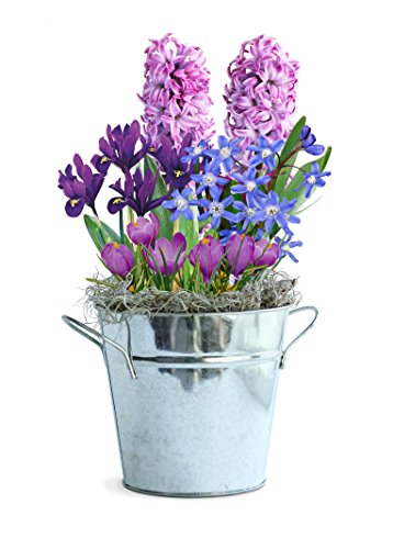 Bulb Garden for Indoor Growing - Shades of Lavender - 13 bulbs - Simply water and flowers open 3-6 weeks