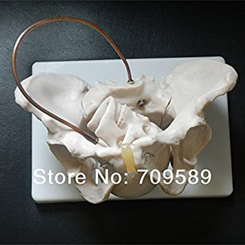 Anatomy Pelvis Model With Fetal Skull Birth Demonstration Model
