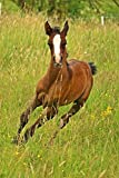 LAMINATED POSTER Thoroughbred Arabian Horse Animal Foal Suckling Poster