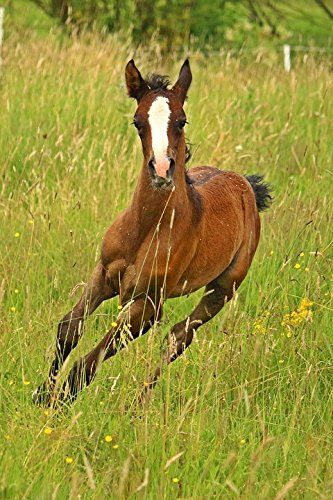LAMINATED POSTER Thoroughbred Arabian Horse Animal Foal Suckling Poster by Home Comforts