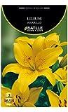Bulbos - Lilium amarillo - Batlle