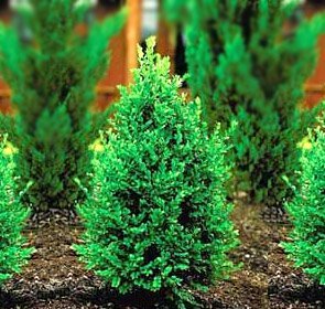 Green Mountain Boxwood - Quantity 10 Live Plants in Quart Pots by DAS Farms (No California) by DAS Farms (Image #4)