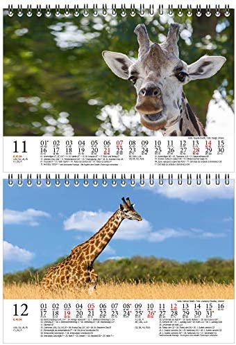 Giraffenzauber DIN A5 Tischkalender für 2021 Giraffen - Geschenkset Inhalt: 1x Kalender, 1x Weihnachts- und 1x Grußkarte (insgesamt 3 Teile)