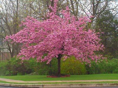 Kwanzan Cherry Tree - 6-7 ft.