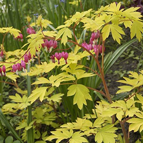 Van Zyverden 83530 Bleeding Gold Heart Set of 1 Roots Flowering-Plants, 3/5 Eye, Pink