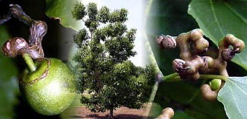 Japanese Raisin Tree Seeds dulcis Tropical product image